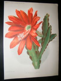 Amateur Gardening 1895 Botanical Print. A Beautiful Cactus